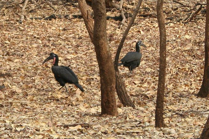 A pair of Abyssinian Ground Hornbills searches for prey