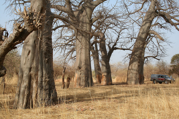 A grove of centuries-old baobabs near the Confluence