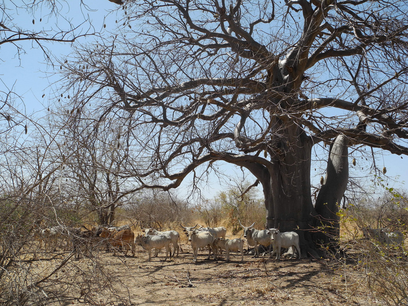 Occasional baobab trees provided the only shade around