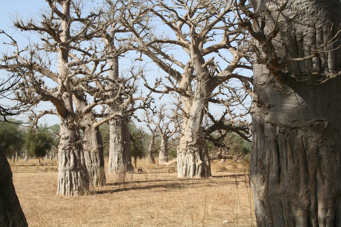 Groves of baobabs marked sites of early human settlements