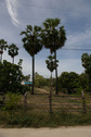 #8: The sugar palms (view from the road towards north)