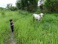 #4: Cow beside the path.