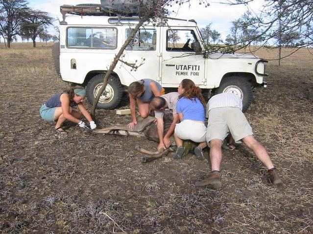 Rescuing a wildebeest which had been snared near the Confluence - lucky for him!