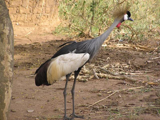 Crested Grey Crane, the national bird of Uganda. As surprised as we were.