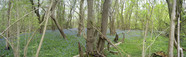 #7: Bluebell Wood