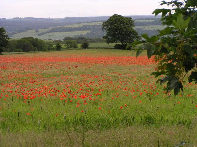 a poppy field near the confluence