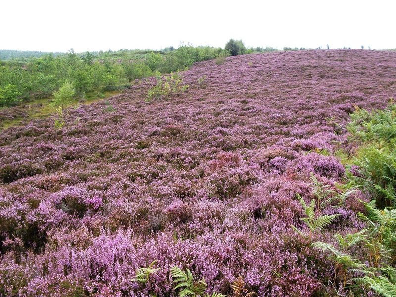 Heather blanket on way down from road