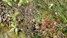 #7: Carnivorous plants - Common Butterwort