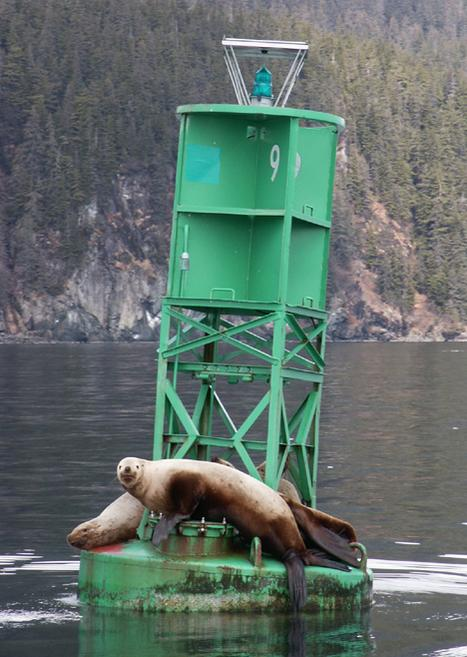 Sea Lions in Valdez Arm.