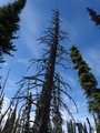 #9: Dead tree near the Confluence