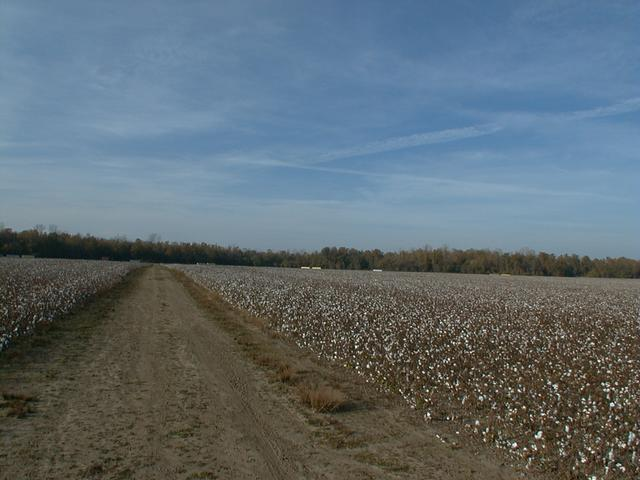 Cotten Field in the Mississippi River Basen (The confluence is located at the third cotton bale to the right)