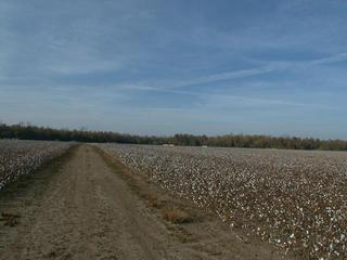 #1: Cotten Field in the Mississippi River Basen (The confluence is located at the third cotton bale to the right)