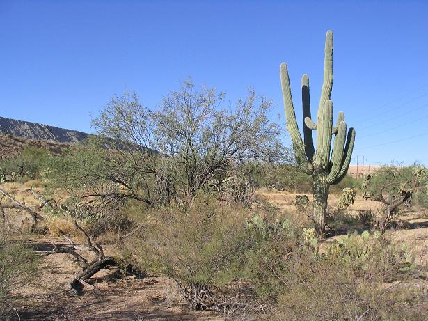West view, a big saguaro
