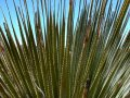 #5: A yucca plant with backlit spiny leaves