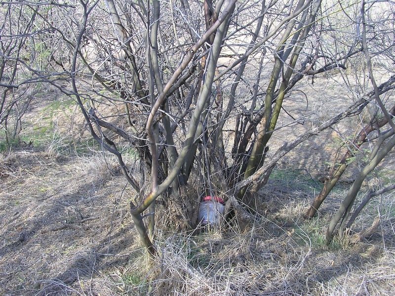 The confluence point lies in a thicket of thorny bushes.  (A geocache is wedged inside one of the bushes.)