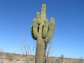 #8: Saguaro, the only one in the area, approximately 0.5 miles east of the confluence.