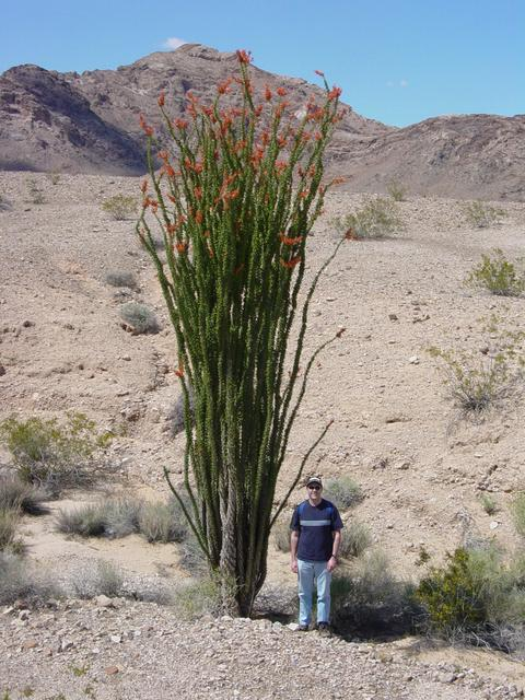 22-foot Ocotillo Plant