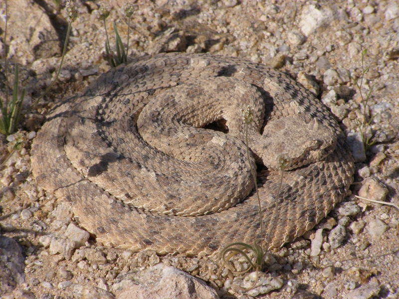 Sleeping (?) rattlesnake
