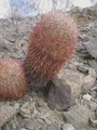 #7: The barrel cactus SE of confluence