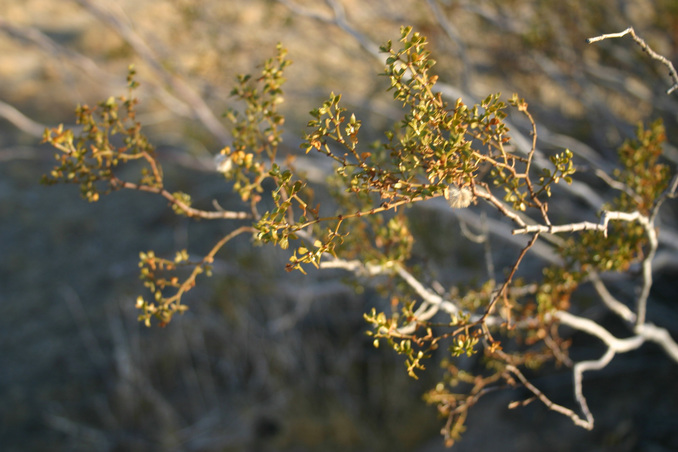 Close-up of a creosote bush, with a few seed pods still attached