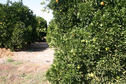 #4: Western view of the orange grove