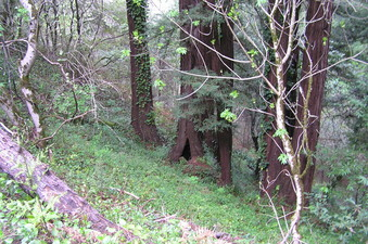 #1: The confluence lies 1 meter to the right of the right-most redwood tree in this photograph.