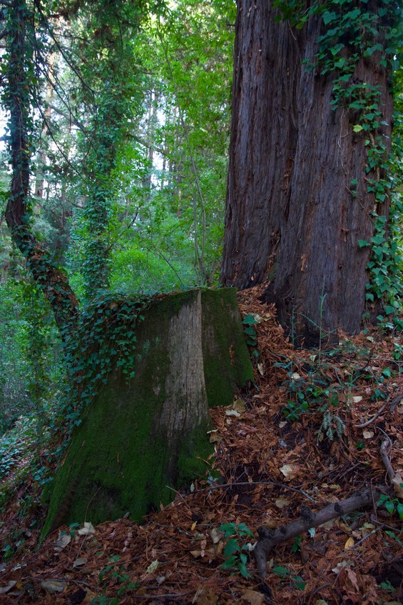 The confluence point lies on top of this stump, within a grove of redwood trees in Santa Cruz's DeLaveaga Park