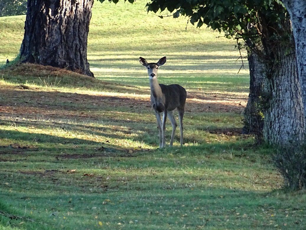 Deer on the green