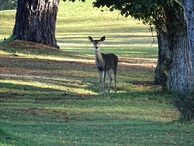 #7: Deer on the green