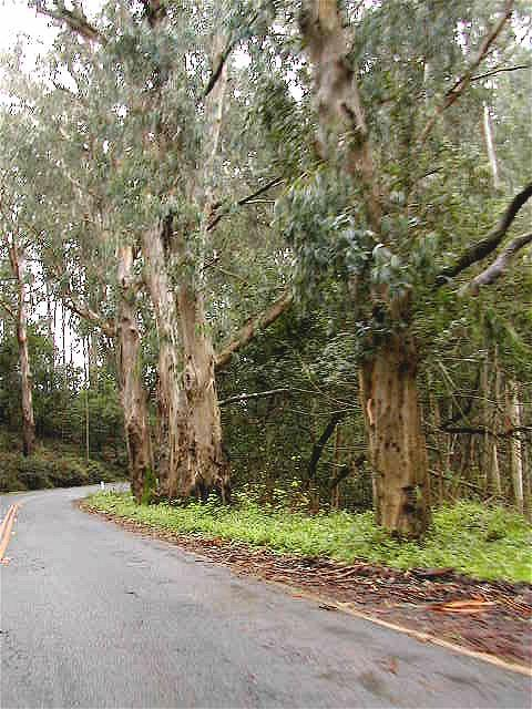 Eucalyptus trees along Route 1