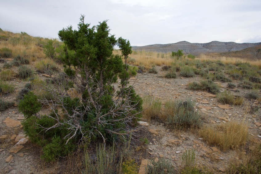 The confluence point lies next to this bush, atop a ridge, 0.3 miles west of Cottonwood Creek Road