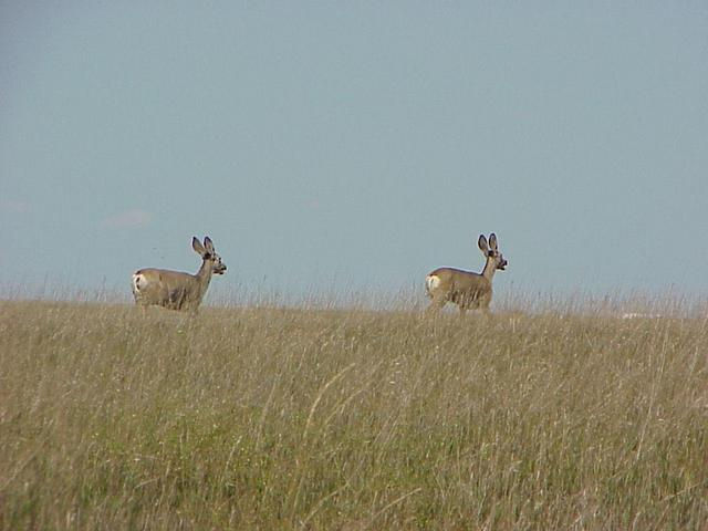 Antelope about 800 meters to the west of the confluence, running from Colorado to Nebraska.