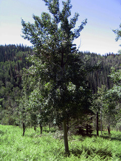 #1: Large Aspen tree just to east of confluence
