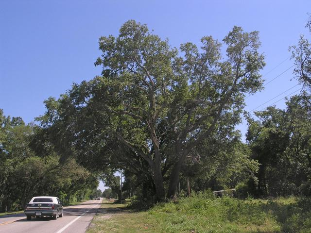 Very old & big trees along Hwy 301