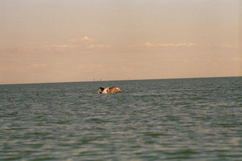 #1: dolphins at play foreground . . . crystal river power plant background