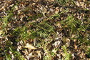 #4: Groundcover at the confluence point with last autumn's fallen leaves.