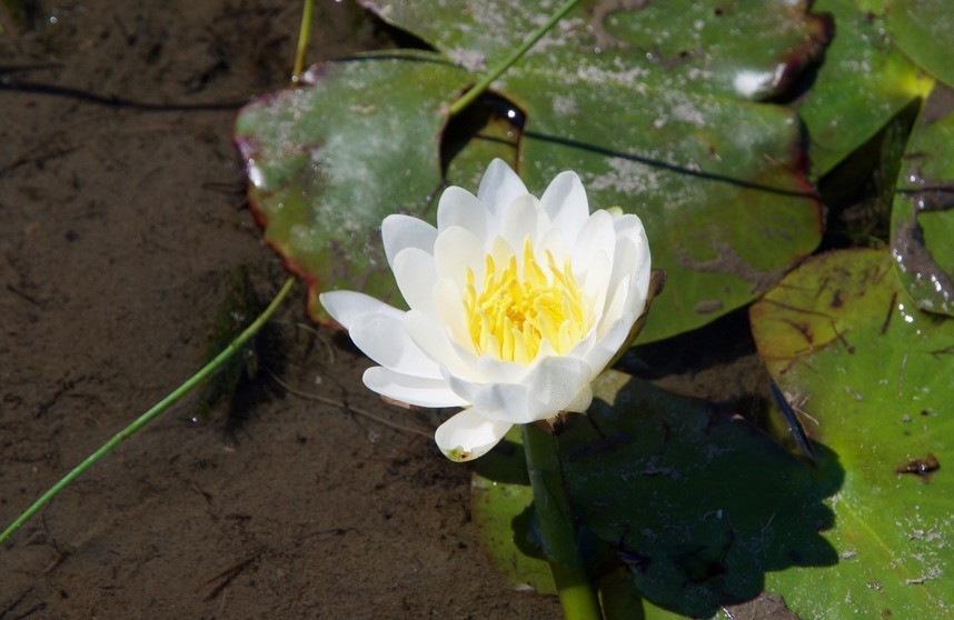 A water lily flower near the edge of the pond