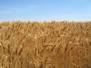 #1: Confluence is hidden within the wheat!