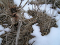 #4: Corn and Snow:  Ground cover at the confluence.