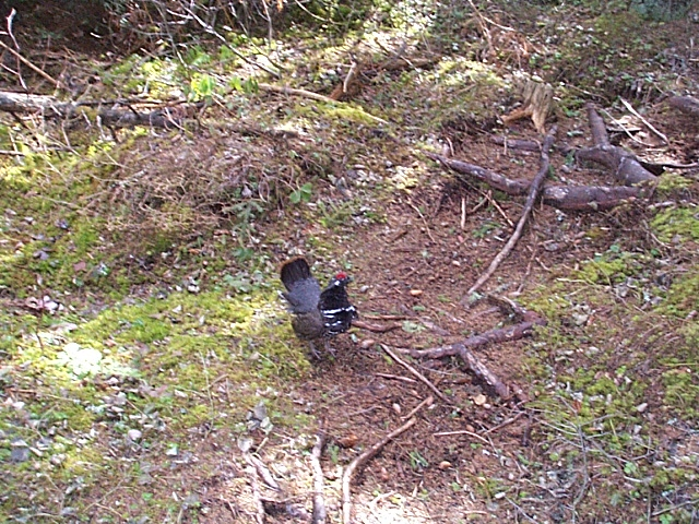 Spruce Grouse Along The Trail