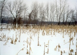#1: View North - Bass River is beyond the corn stalks