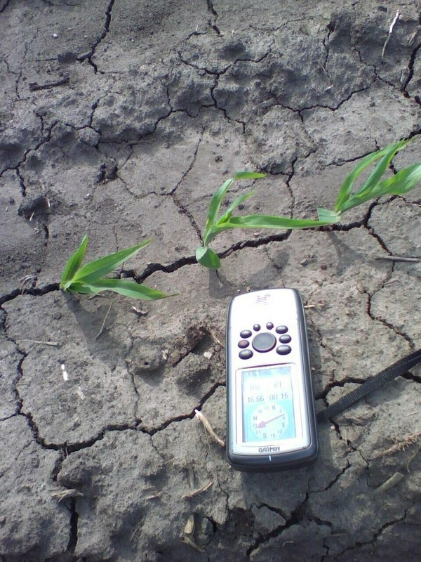 Corn plants with GPS for scale