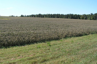 #1: Site of 45 North 94 West, about 8 meters into the soybean field in the mid-distance of this photograph.