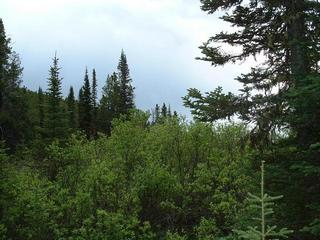#1: General View of the Area showing Lodgepole Pines and wetland Willows