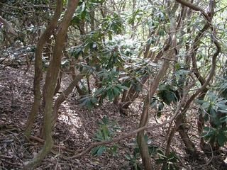 #1: A confluence point among the rhododendrons.