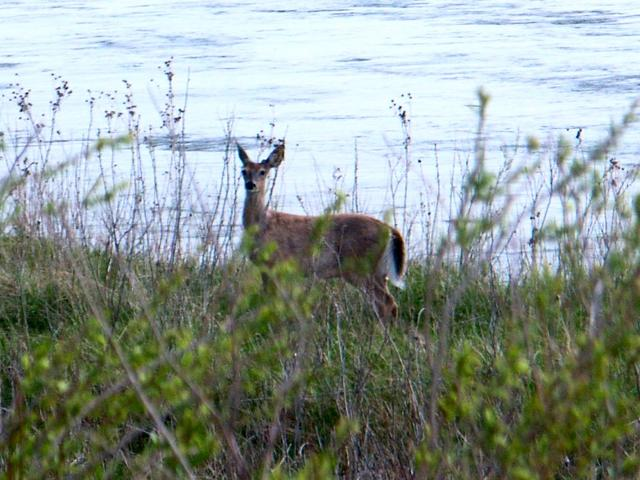 Whitetail Deer on the Bank of the North Loop River