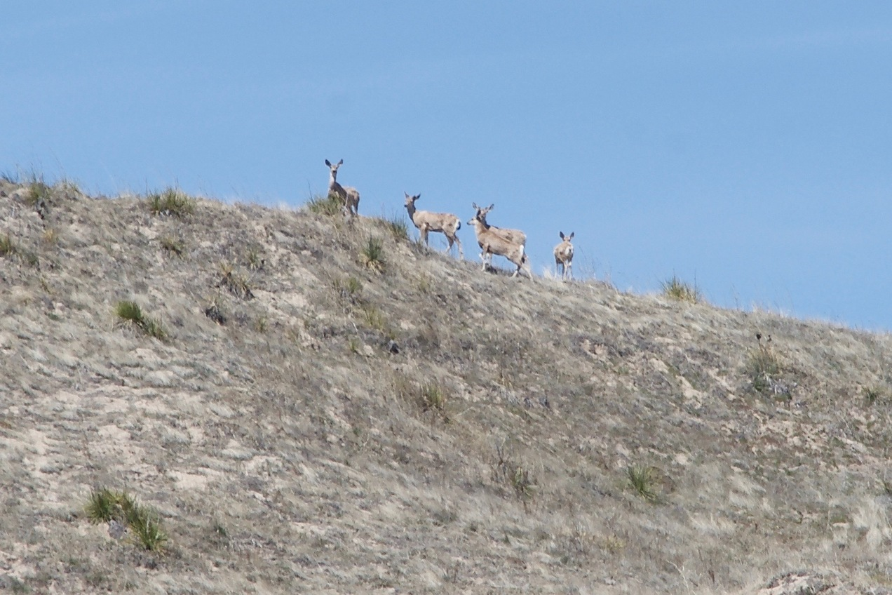 These five deer were watching me from atop the confluence sand hill as I approached