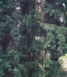 spruces, from the other trees
