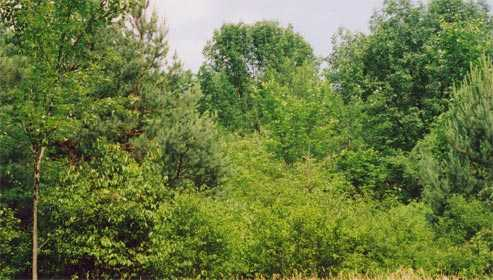 other trees, from the spruces