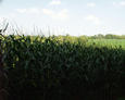 #3: looking north through the corn field